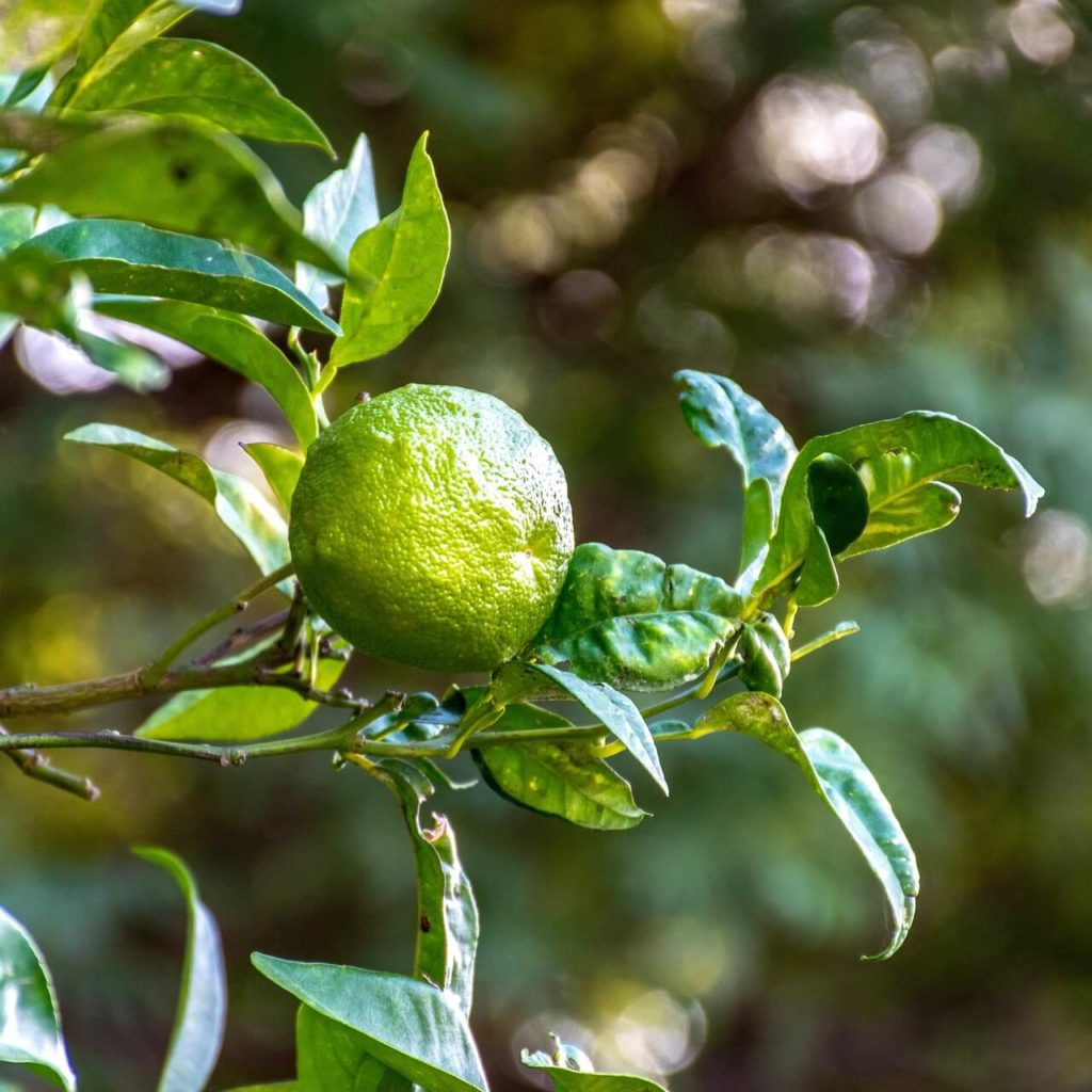 Dried Kaffir Lime Leaves cost